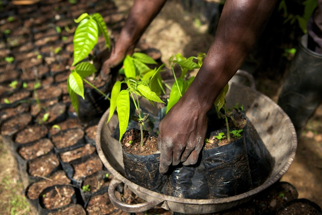 Pressebild Cocoa Life: Small cocoa trees at a cocoa nursery in Ghana.