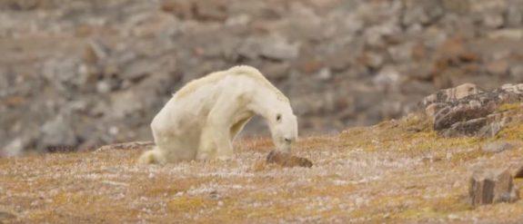 Skandalisierung: 3 Dinge, die Sie vom sterbenden Eisbären lernen können